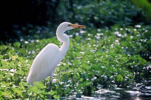Wetji - White Egret
