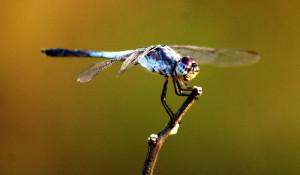 Tjimin - Dragonfly
