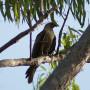 Ngubulung - Hawk