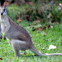 Pulkin - Wallaby